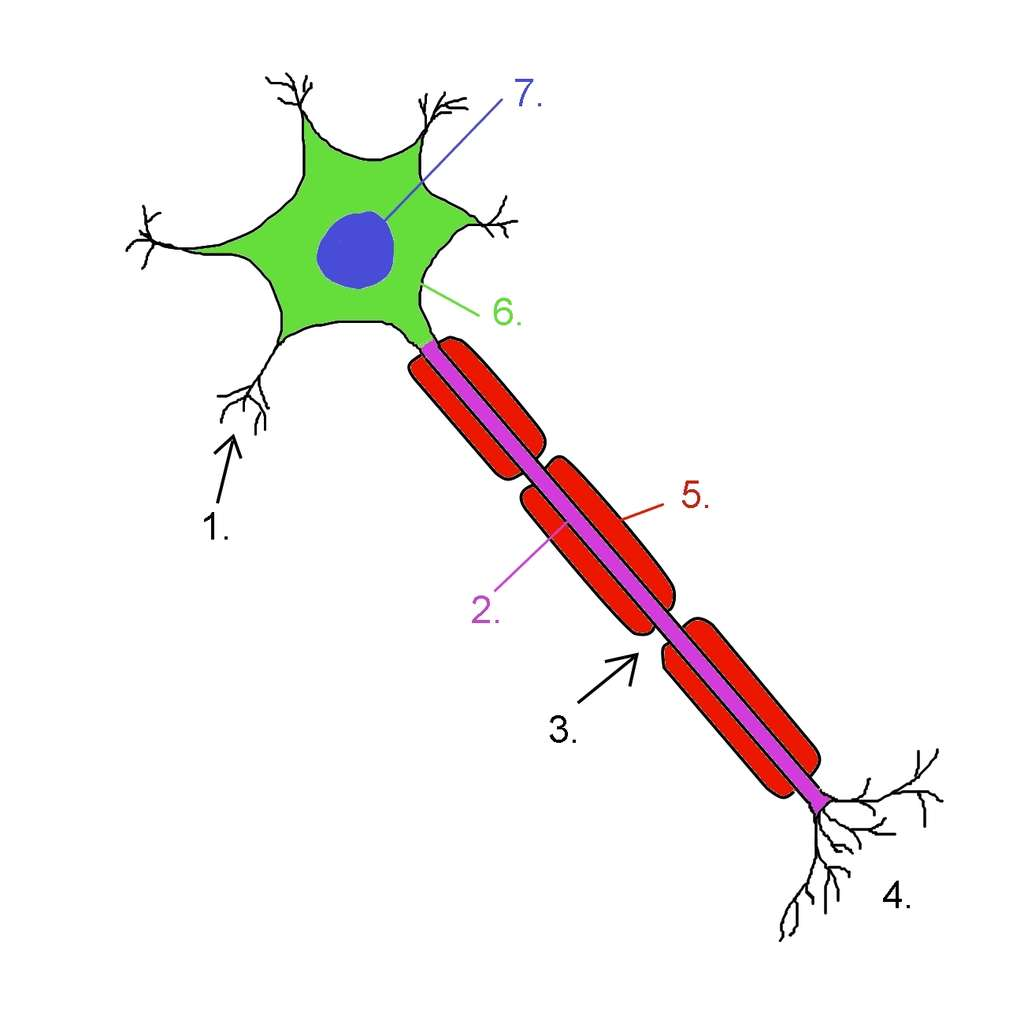 Schéma d'un neurone. (1) dendrite, (2) axone, (3) nœud de Ranvier, (4) extrémité de l'axone, (5) myéline, (6) corps cellulaire, (7) noyau. La myéline protège le neurone et améliore la vitesse de progression de l'influx nerveux dans l'axone. Lors de la sclérose en plaques, les gaines de myéline sont attaquées par les lymphocytes T. © NickGorton, Wikimedia Commons, cc by sa 3.0
