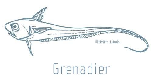 Le grenadier de roche et la lingue bleue sont des poissons profonds pêchés et servis en cantine scolaire. © Mylène Lebois