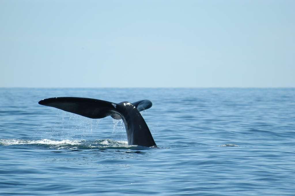 Baleine noire de l'Atlantique nord. © DR