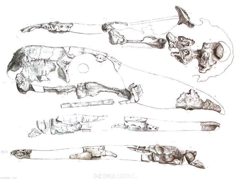 Reconstitution du crâne de Gastornis par Victor Lemoine (1881). En 1992, le paléontologue Larry Martin a montré que pratiquement aucun des os utilisés pour cette reconstitution n'appartient en réalité à cet oiseau. © DR
