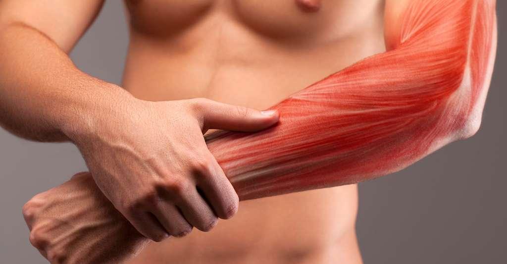 Anatomie musculaire du bras. © Bluskystudio - Shutterstock