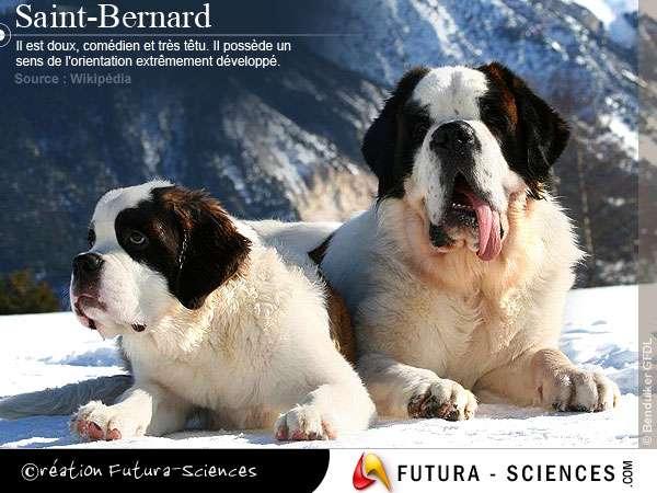 Doux et tendre Saint-Bernard