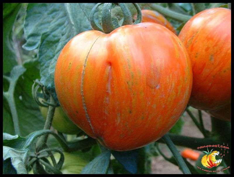 Tomate Schimmeig Creg. Ces belles tomates rayées orange et rouge sont un peu allongées, à la chair peu aqueuse et au bon goût de tomate. Leur croissance est semi-déterminée, et leur feuillage normal. © Tomodori