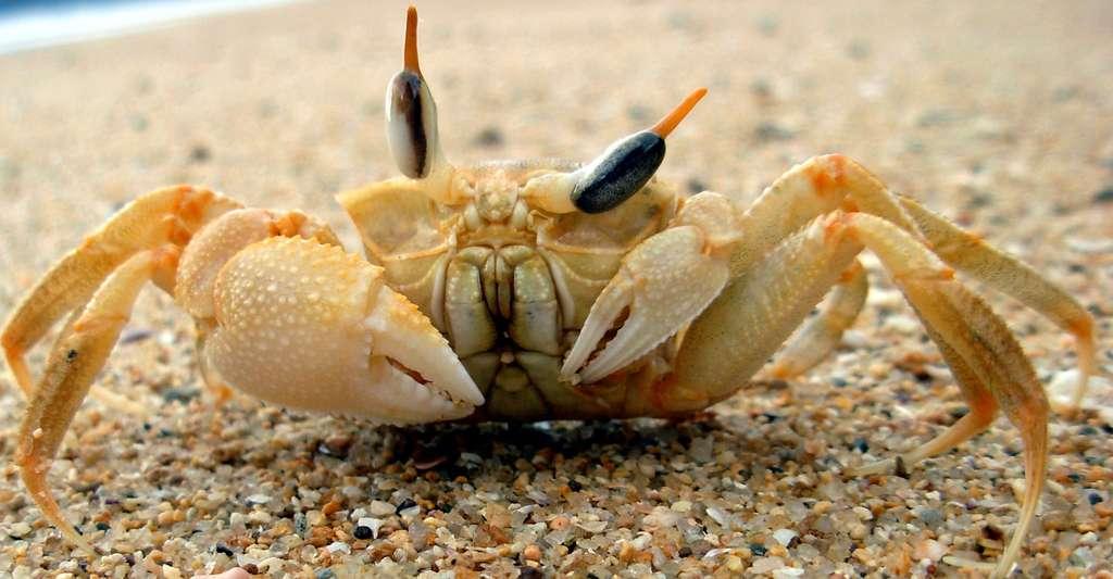 Un crabe fantôme de Madagascar. © Lebelot, Wikimedia commons, CC by-sa 3.0