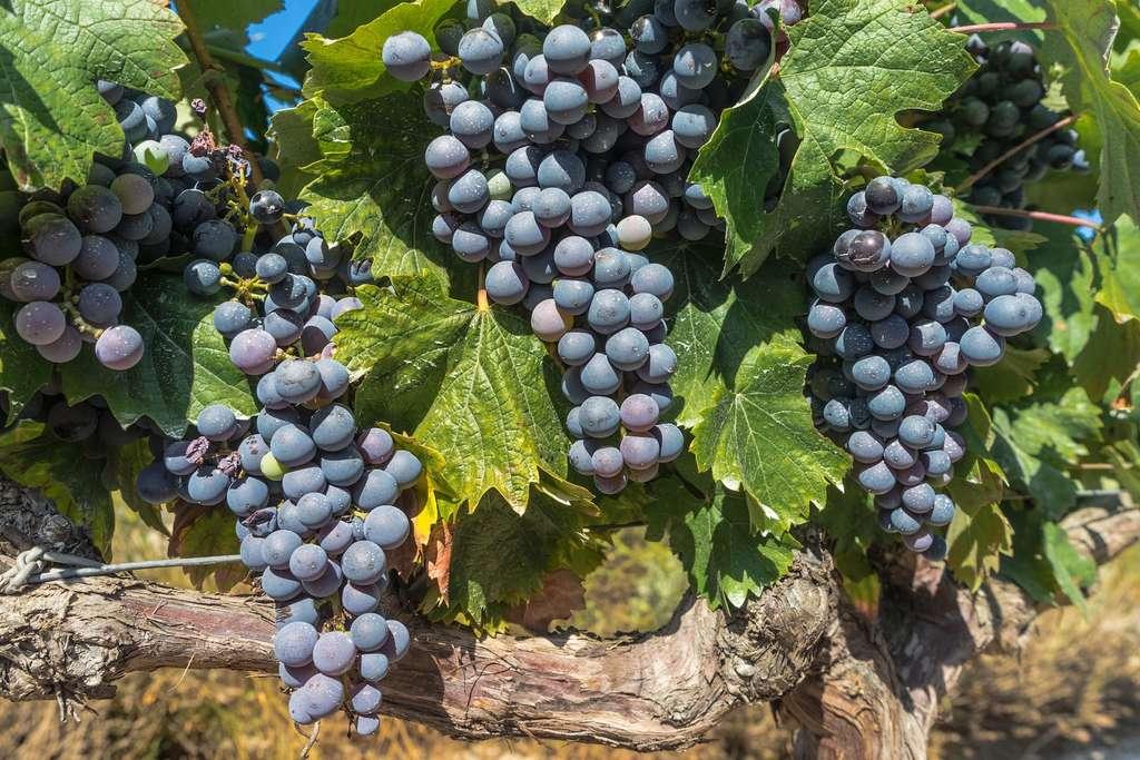 Les vins de Bordeaux souffriront-ils du changement climatique ? C'est en tout cas ce que prévoit une étude américaine. La surface des terres favorables à la culture du vin devrait en effet se réduire de 68 % d'ici 2050 en Europe. © Donations_are_apprciated, Pixabay, CC0 Public Domain