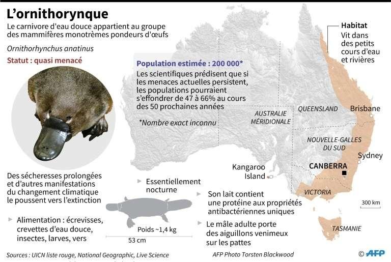 À l'horizon 2070, la population d'ornithorynques pourrait s'effondrer à plus de 70 %. © Janis Latvels, AFP