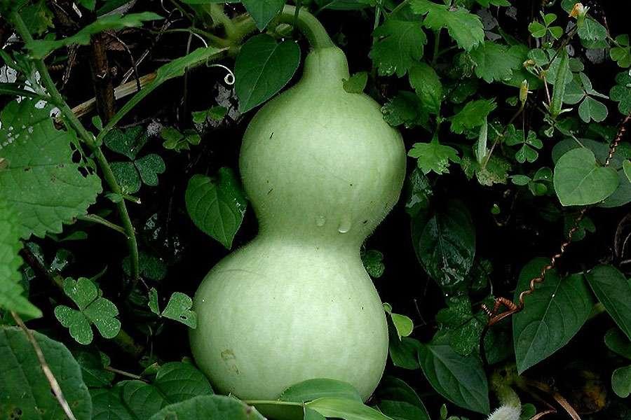 Les fruits de Lagenaria siceraria sont utilisés pour la fabrication d'objets décoratifs ou utilitaires. © Pixeltoo, Wikimedia commons, CC by-sa 3.0