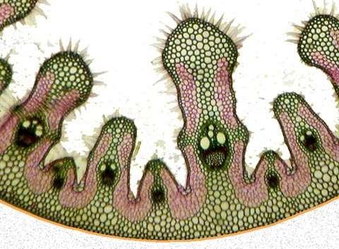 Figure 20. Détail d'une coupe anatomique transversale de feuille d'oyat. © Biologie et Multimedia