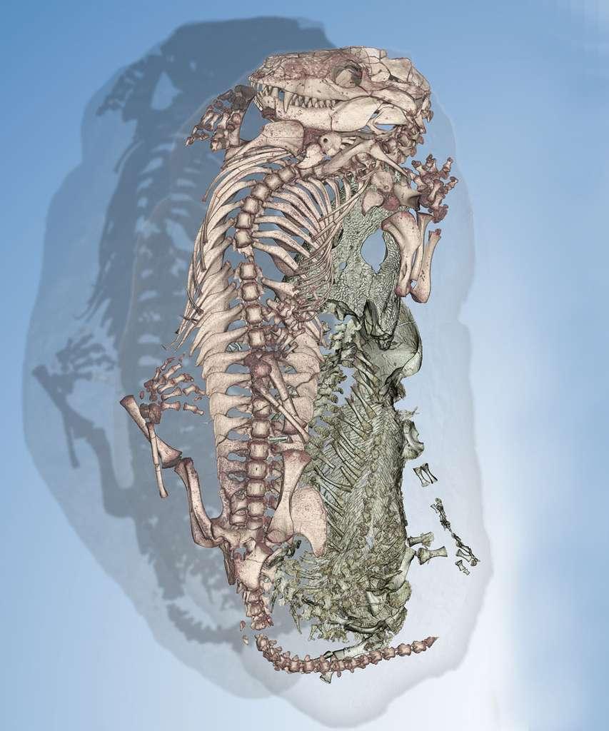 Cette image 3D révèle la présence dans un même nid d'un reptile mammalien à gauche et d'un amphibien primaire à droite. © Vincent Fernandez, ESRF
