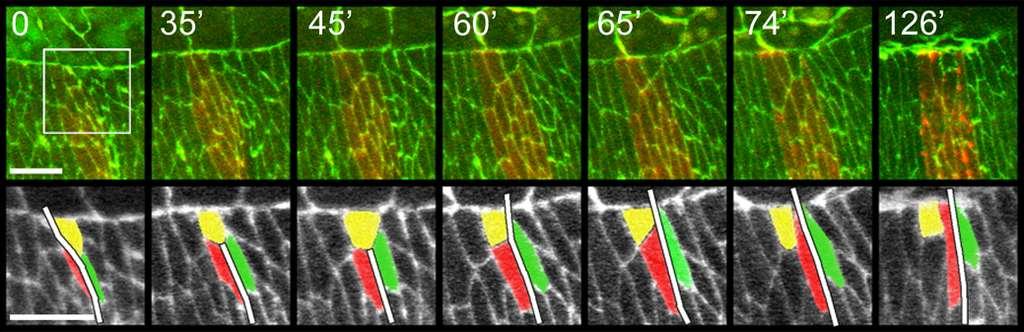 Cinétique de la fermeture dorsale lors du développement de la drosophile, montrant que les cellules caméléon (en jaune) peuvent changer d'identité et passer du compartiment antérieur (vert) au postérieur (rouge). © Plos Biology