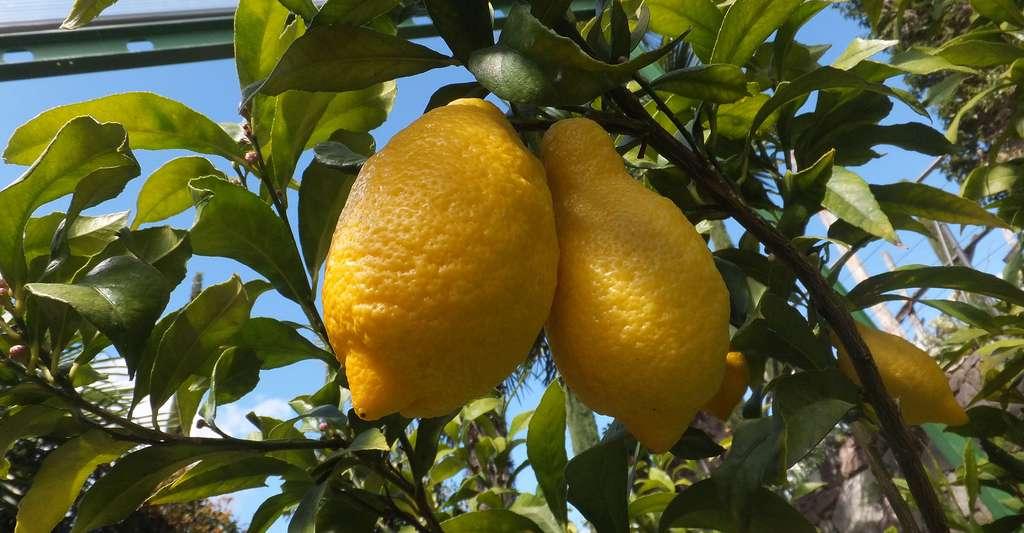 Entretien du citronnier : faut-il le tailler ? Ici, des citrons italiens de la variété Spatafora. © Syrio, Wikimedia Commons, CC by-sa 4.0
