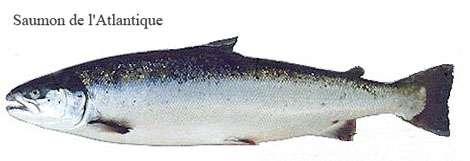 Saumon de l'atlantique
