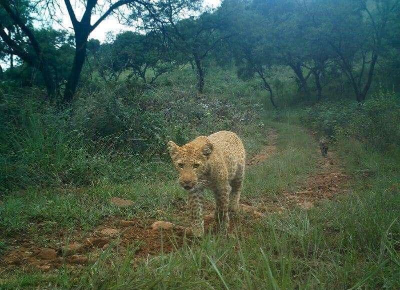 Les photos du léopard rose ont été publiées sur le compte Facebook du Black Leopard Mountain Lodge, un campement touristique situé dans la réserve de Thaba Tholo en Afrique du Sud. © Black Leopard Mountain Lodge, Facebook