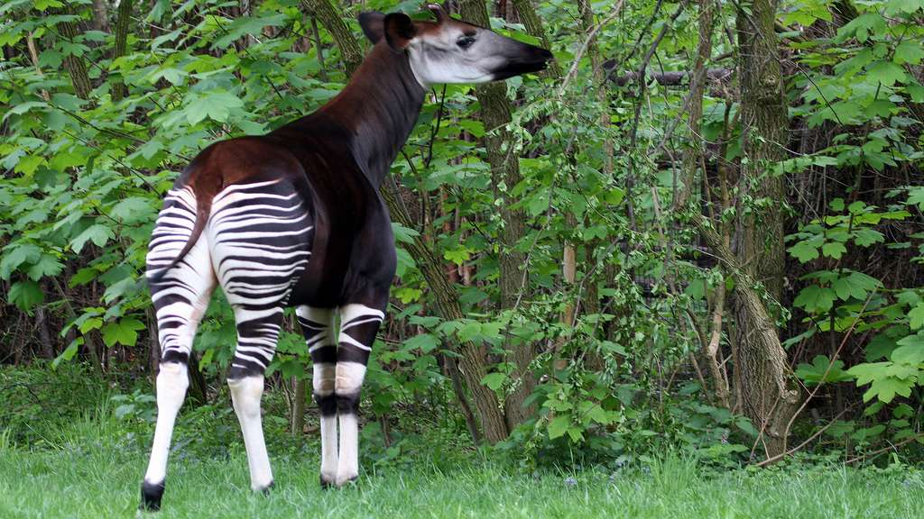 L'okapi, un des derniers mammifères découverts
