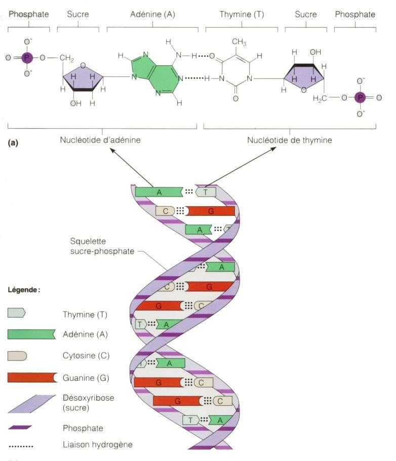 Une image illustrant la structure de L'acide désoxyribonucléique (ADN). Sa structure est celle d'une double hélice composée de deux brins complémentaires. Chaque brin est constitué d'un enchaînement de quatre nucléotides A, G, C et T. L'information génétique est codée par l'ordre dans lequel s'enchaînent ces quatre nucléotides. © Site de Biologie du réseau Collégial du Québec