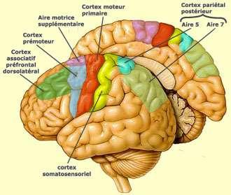 Le cortex moteur (parties colorées, montrées ici dans un cerveau humain) stimule en permanence le corps pendant l'éveil. Suffisamment plastique, il peut semble-t-il intégrer une jonction établie à l'aide d'une puce électronique. Copyleft www.lecerveau.mcgill.ca.