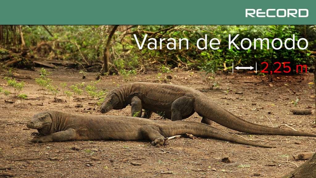 Le varan de Komodo, le roi des lézards