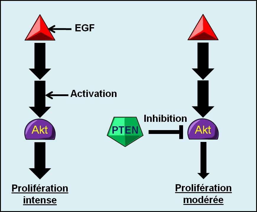 Figure 11. Mode d'action schématique du gène suppresseur de tumeurs PTEN. En l'absence de contrôle par PTEN, Akt active intensément la prolifération cellulaire lorsqu'elle est stimulée par l'EGF. Si PTEN exerce son contrôle sur Akt, la prolifération cellulaire est modérée. © Grégory Ségala