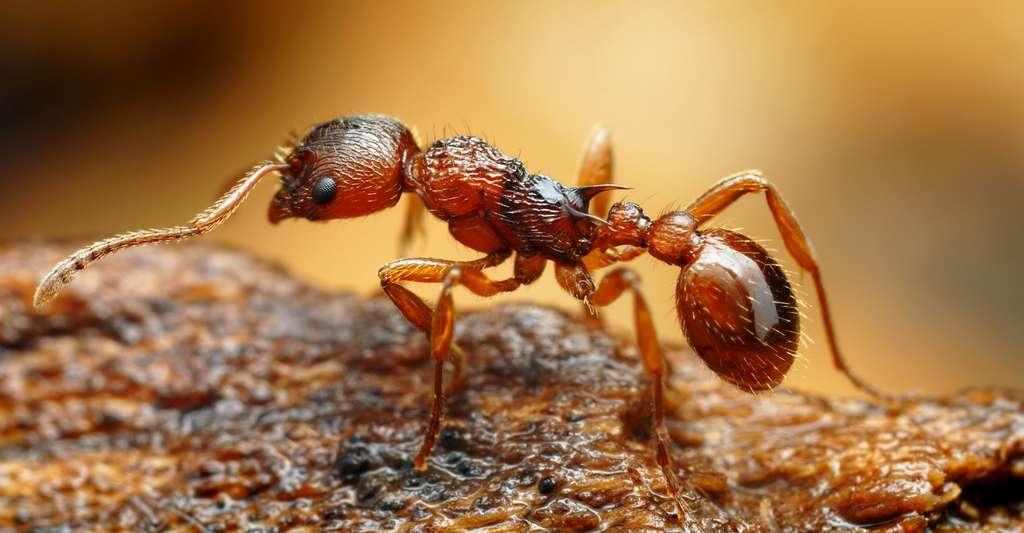 Les fourmis du genre Myrmica, aussi appelées « fourmis rouges », se servent de leur aiguillon pour attaquer les intrus ; d'autres espèces mordent avec leurs mandibules. © Tomatito, Shutterstock