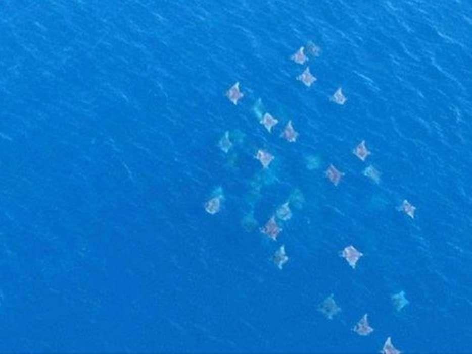Une image exceptionnelle, qui a circulé sur les réseaux sociaux : un groupe de diables de mer photographiés depuis un avion, en Israël. © DR (auteur inconnu)
