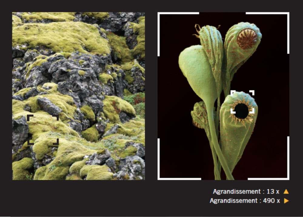 Cette mousse a été agrandie 13 fois (photo du milieu) et 490 fois (photo de droite). Les mousses affectionnent nombre d'endroits humides, des écorces aux toits en passant par les rochers. © Giles Sparrow, Dunod, DR