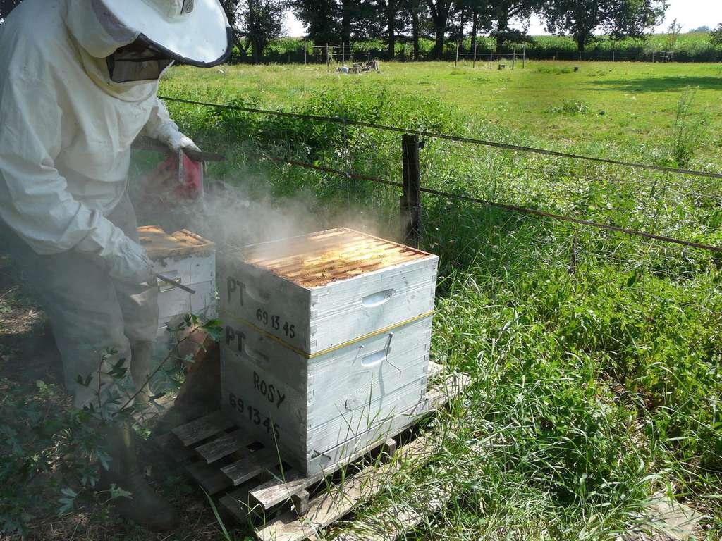 Lorsque l'apiculteur enfume ses abeilles, elles perdent de leur agressivité à son encontre et il peut ensuite procéder aux tâches qui lui incombent. © yves Tennevin, Flickr, CC by-sa 2,0