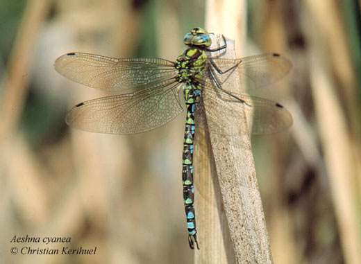 Aeschne bleue Aeshna cyanea (Anisoptères) - Tous droits réservés
