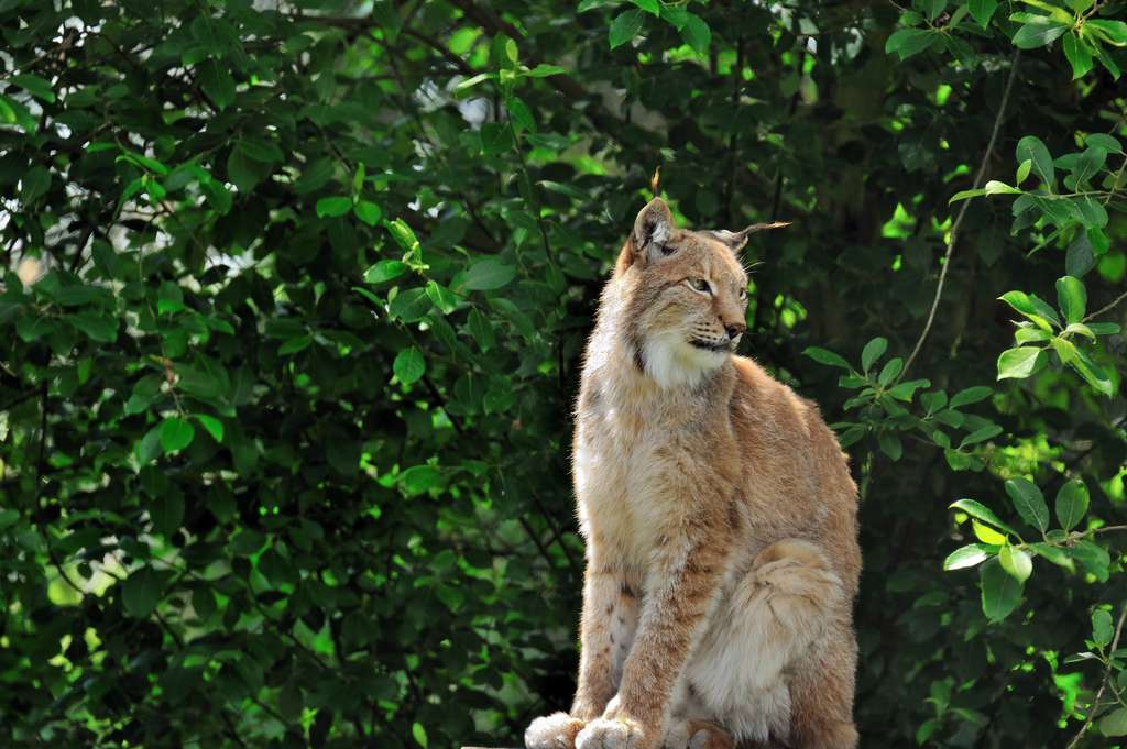 Lynx ibérique. © Steve Slater, Flickr