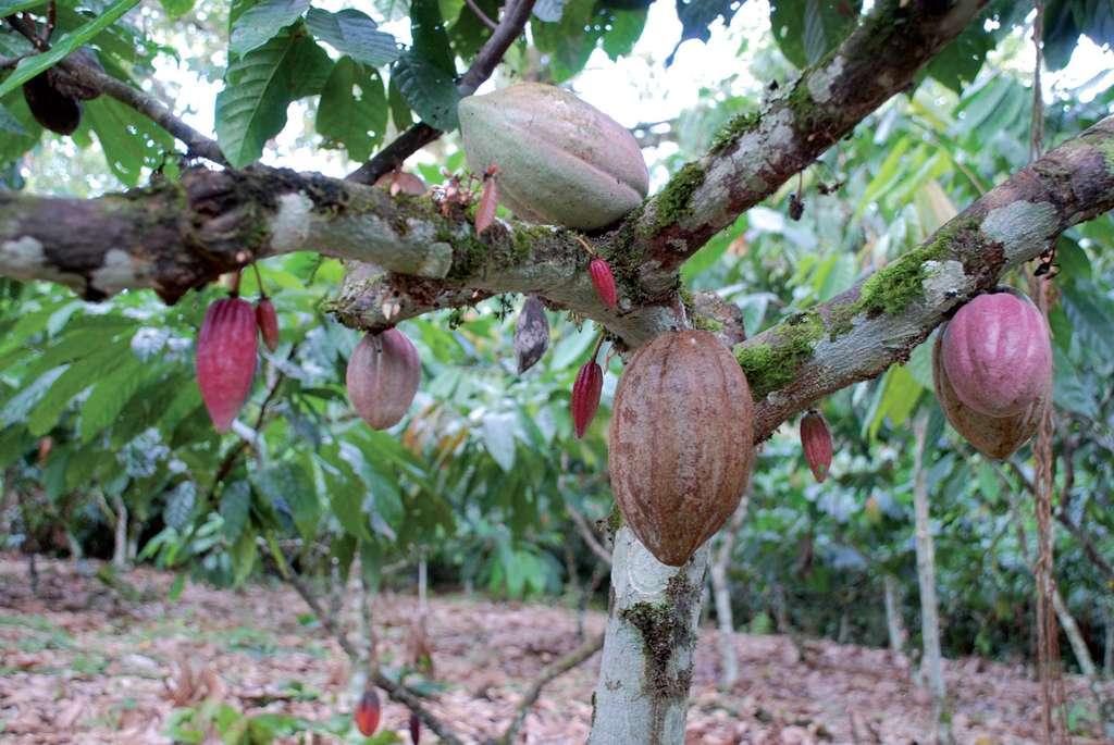 Cabosses de cacao. © C. Lanaud