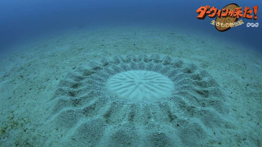 Une de ces étonnantes sculptures réalisées dans le sable, le long des côtes de l'île Amami-Ōshima, plus grande des îles Amami, dans l'archipel Nansai, au sud du Japon, non loin de Taïwan. Elles mesurent environ 2 mètres de diamètre. © Yoji Ookata NHK