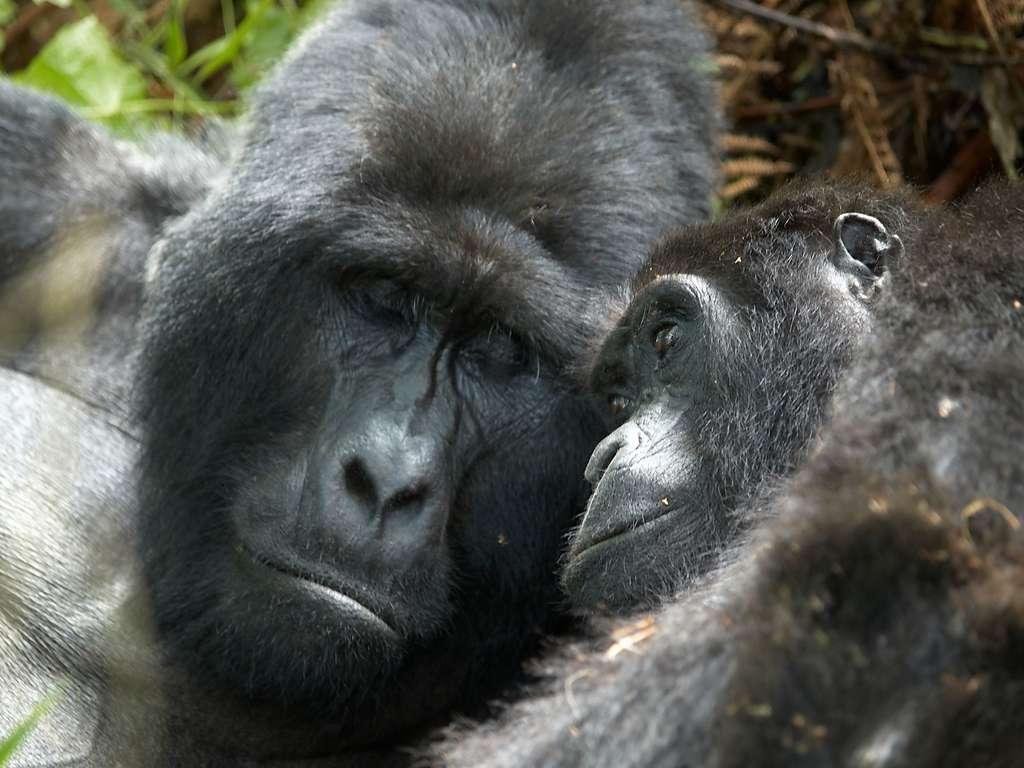 Reproduction : le gorille, pas forcément une bête de sexe