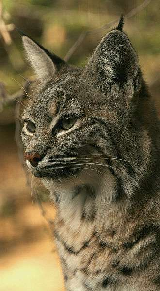Lynx roux. © Wayne Dumbleton, Creative Commons Attribution 2.0 Generic license