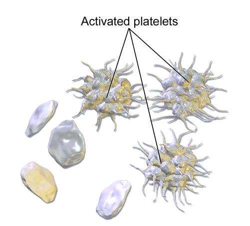 Les plaquettes (platelets en anglais) sont des éléments du sang qui ne possèdent pas de noyau. Elles sont formées par fragmentation des mégacaryocytes, de grandes cellules contenues dans la moelle osseuse. © BruceBlaus, Wikimedia Commons, cc by 3.0