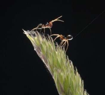 Deux araignées Erigone Celle du bas, avec son abdomen tourné vers le haut et son fil de soie déployé, n'attend plus qu'une bourrasque pour prendre son envol ! (Crédits : Rothamsted Research)