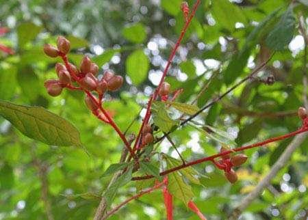 Arbuste importé du Suriname ; il s'agit de Quassia amara (Simaroubaceae), l'un des plus utilisés contre le paludisme en Guyane. © G. Bourdy, tous droits de reproduction interdits