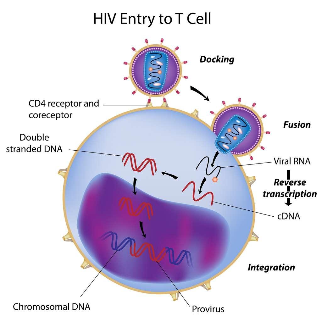 Lors de l'infection par le VIH, l'ARN du génome est rétrotranscrit en ADN. Celui-ci est ensuite inséré dans le génome de la cellule hôte sous la forme du provirus. © Alila Medical Media, Shutterstock