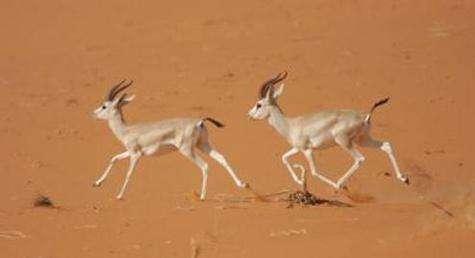 Les gazelles ont trouvé un moyen original et très performant de survivre dans le désert (Courtesy of Stéphane Ostrowski)