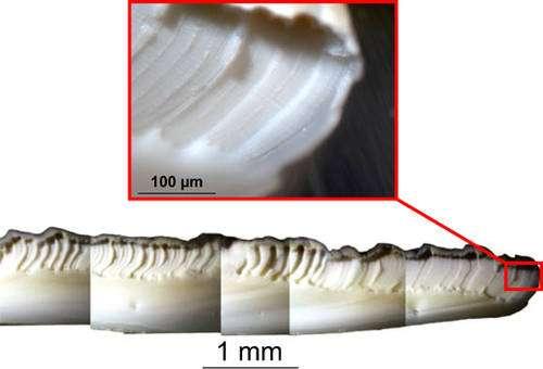 Coquille après prélèvement d'échantillons au micromill. Une tranchée est de l'ordre de 80 µm de large. Cette largeur est choisie en fonction de la quantité de poudre nécessaire à l'analyse, elle-même dépendante de la concentration des éléments que l'on souhaite analyser et de la précision des spectromètres utilisés ensuite. © C.E. Lazareth, IRD. Reproduction et utilisation interdites