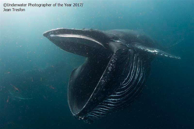 Baleine à bosse ouvrant la bouche pour manger du krill