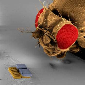 Une mouche dubitative devant un Mems (Micro-Electro-Mechanical Systems) de 300 micromètres de longueur mis au point par l'équipe suisse ETH Zurich qui a participé à la RoboCup 2009. © ETH Zurich