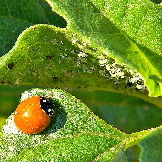 La coccinelle est un prédateur des pucerons. © Bob Peterson, Flickr, CC by-sa 2.0