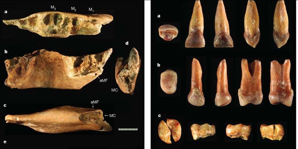 Le fragment de mandibule (à gauche) et trois des six dents (à droite), ici vus sous différents angles, ont été retrouvés dans la grotte de Mata Menge, à une centaine de kilomètres de Liang Bua, où a été découvert l'Homme de Florès. Ces restes s'apparentent aux fossiles de ce dernier mais aussi à ceux d'Homo erectus. Ils font du petit « Hobbit » une espèce à part entière et très ancienne. © Gerrit D. van den Berg et al.