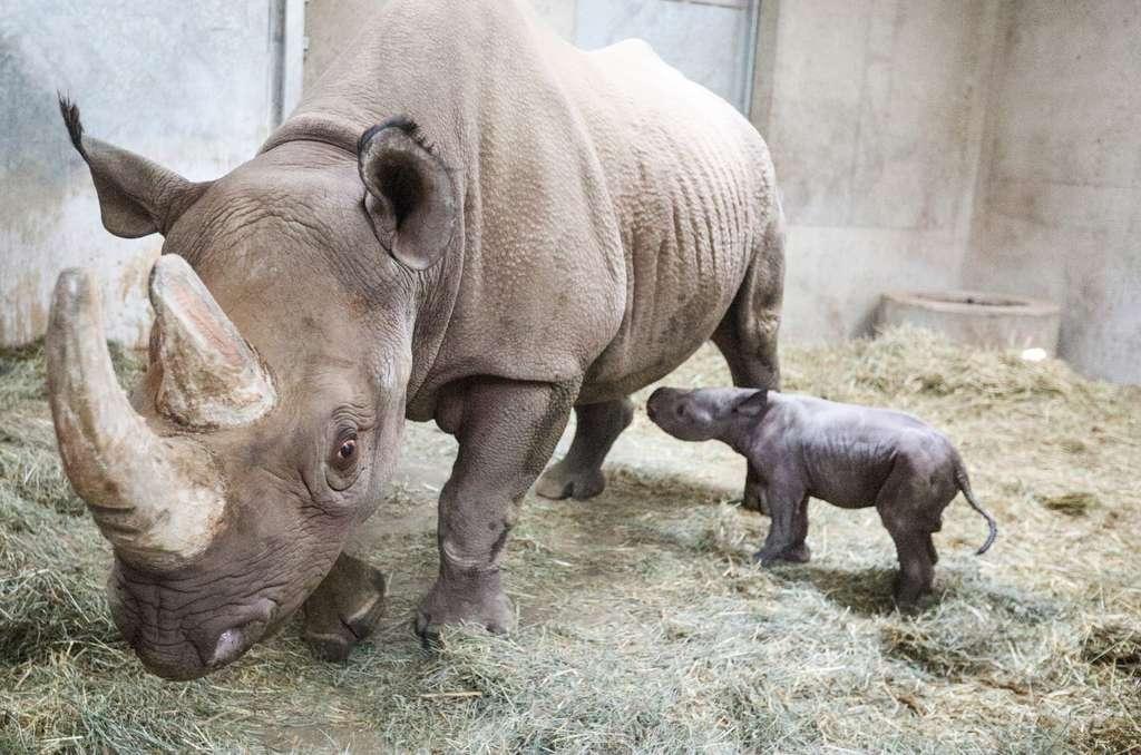 Les premiers pas du jeune rhinocéros noir au zoo de Potter Park. © Potter Park Zoo, Facebook