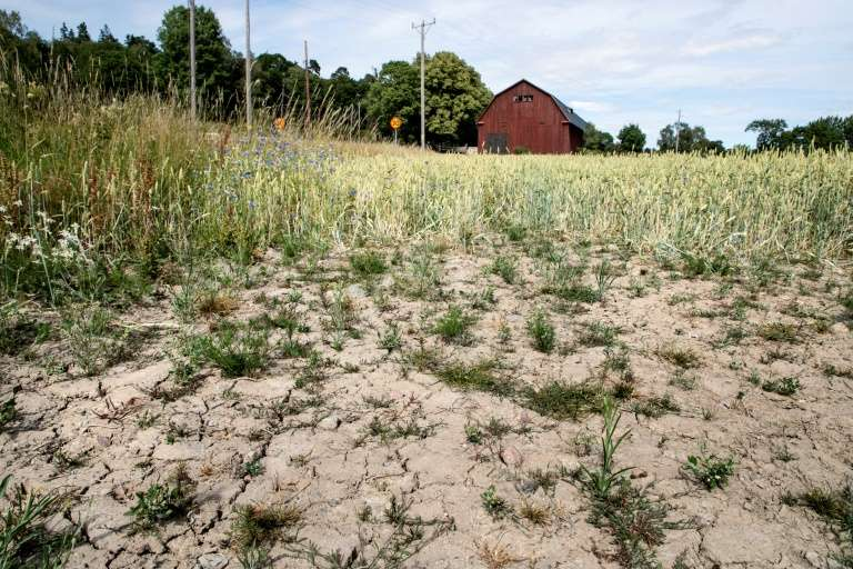 Un champ de blé frappé par la sécheresse à Taby, dans le centre de la Suède, le 9 juillet 2018. © Christine Olsson, TT News Agency, AFP