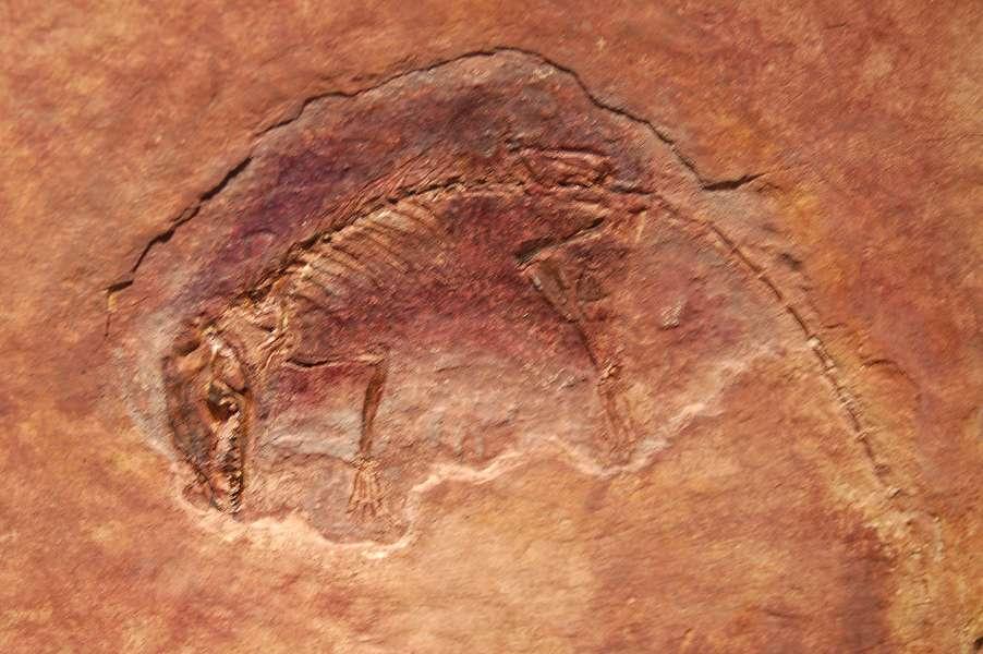 Eomaia scansoria, au Musée américain d'histoire naturelle de New York. © Dinoguy2, CC by-sa 1.0