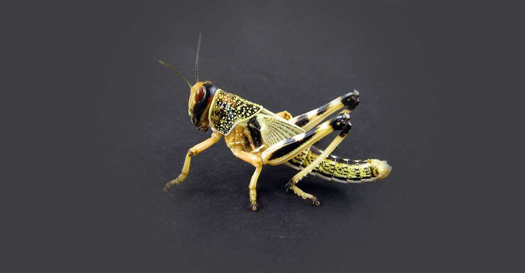 Schistocerca gregaria. © Micha L. Rieser, Wikimedia commons, DP