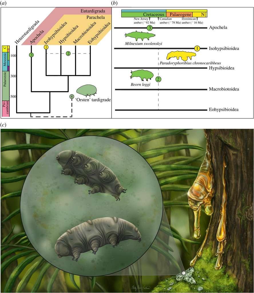 Seuls trois fossiles de tardigrades ont jusqu'ici été découverts. Paradoryphoribius chronocaribbeus est le plus récent et le seul de la famille des Isohypsibioidea. © NJIT, Harvard