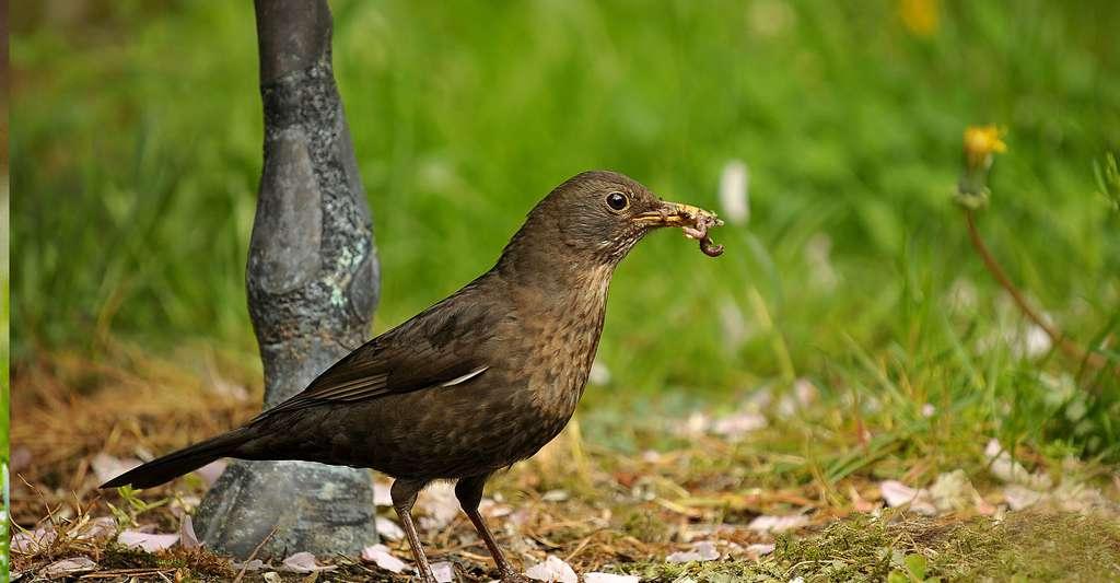 Les oiseaux les ennemis des vers de terre. © Susannp4, Pixabay, DP
