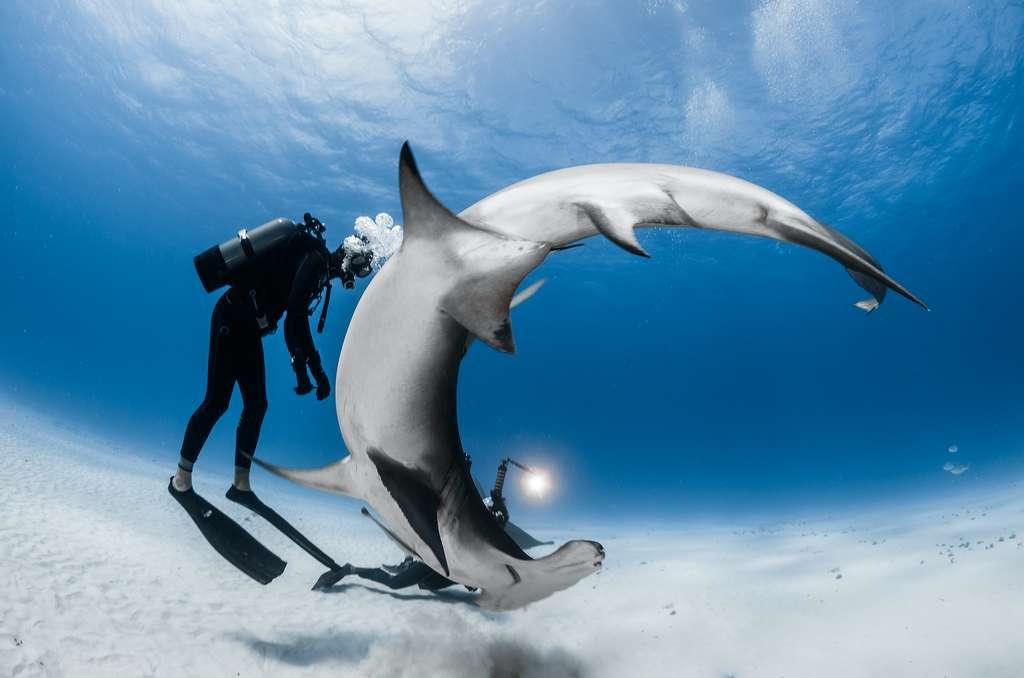 Steven a travaillé aux Bahamas en 2015. À cette occasion, il a cumulé des rencontres incroyables avec les grands requins-marteaux (Sphyrna mokarran) sur l'île de Bimini. Grâce à leur tête en forme de marteau, ces requins sont extrêmement hydrodynamiques et peuvent effectuer des rotations à 360° sur le même axe sans bouger d'un centimètre! © Greg Lecoeur, Tous droits réservés