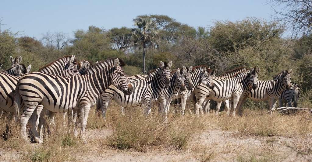 Les travaux des chercheurs de l'université de Nouvelle-Galles du Sud (Australie) tentent de combiner des données génétiques, géologiques et climatiques afin de retracer l'histoire de l'humanité et de remonter à ses origines au Botswana. Aujourd'hui, à la saison humide, on y trouve l'une des plus importantes populations de zèbres d'Afrique. © efriedrich, Pixabay License